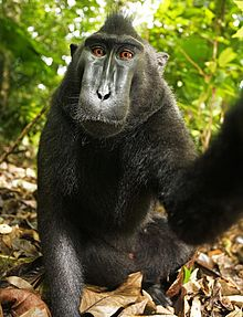 Macaca_nigra_self-portrait_full_body